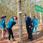 Cao su Mang Yang ra quân từ mùng 4 tết