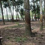Trồng cao su lấy gỗ và gỗ - mủ theo hướng phát triển bền vững