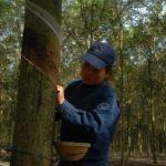 Nông trường An Lập, Cao su Dầu Tiếng phấn đấu giữ năng suất 2 tấn/ha