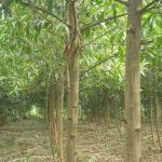 VRG thực hiện phát triển 20.000 ha rừng