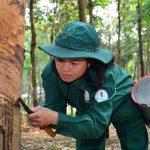 Nông trường Bachiang I nhiều năm liền năng suất 2 tấn/ha