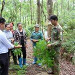 Cao su Lai Châu: Bệnh phấn trắng ảnh hưởng vườn cây