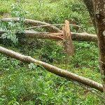 Cao su Quảng Nam: Thiệt hại gần 600 cây cao su do mưa lũ