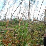 Cao su miền Trung: Thiệt hại nặng sau bão số 9