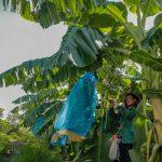 Nông nghiệp ứng dụng công nghệ cao góp phần phát triển bền vững