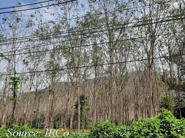 Bệnh rụng lá Pestalotiopsis bùng phát trở lại tại Thái Lan