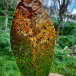 Cảnh báo bệnh rụng lá Pestalotionpsis trên vườn cây cao su