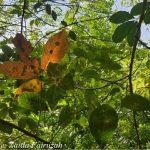 Cập nhật tình hình bệnh rụng lá Pestalotiopsis tại các nước