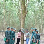 Nông trường Cầu Khởi, Cao su Tây Ninh: Tay nghề khá giỏi trên 95%