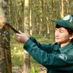 Các công ty cao su khu vực Đông Nam Bộ: Xứng đáng anh cả