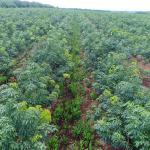 Ngành cao su: Nhiều tiềm năng và lợi thế để phát triển nông nghiệp hữu cơ