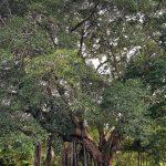 Chuyện về cây đa làng Ghè - Cây di sản Việt Nam