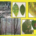 Vườn cao su Sri Lanka đối mặt với bệnh lá Pestalotiopsis