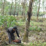 Những điểm mới trong Quy trình kỹ thuật cây cao su năm 2020: Thu hoạch gỗ cao su