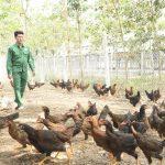 Làm giàu từ chăn nuôi gà