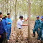 Cao su Dầu Tiếng - Lai Châu: Sẵn sàng khai thác mủ