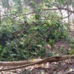 Bình Phước: Giông lốc làm gãy đổ hàng ngàn cây cao su
