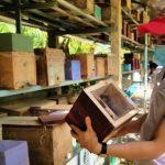 Nuôi ong dú, thu hàng trăm triệu đồng mỗi năm