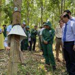 Cao su Quảng Nam phấn đấu khai thác trên 2.480 tấn mủ