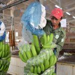 Chuối Thanh An: Trái ngọt nông nghiệp công nghệ cao