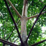 Một số tồn tại trong công tác trị bệnh nấm hồng trên vườn cây cao su