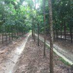 Triển vọng xen cao su gỗ - mủ nhằm nâng cao hiệu quả sử dụng đất