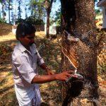 Ngành công nghiệp săm lốp Ấn Độ và dự án trồng 200.000 ha cao su phía Đông Bắc