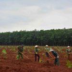 Thời tiết thuận lợi, Cao su Đồng Nai ra quân tái canh trồng mới