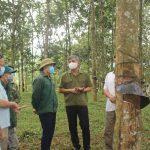 Trồng cây cao su ở Mường Chà góp phần tạo việc làm, tăng thu nhập cho người dân