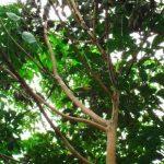 Một số tồn tại trong công tác trị bệnh nấm hồng trên vườn cây cao su (kỳ 2)