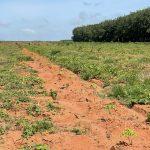 Cao su Hòa Bình: Hoàn thành tái cánh 274 ha trong thời gian ngắn