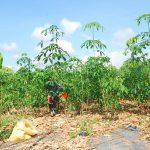 Cây giống cao su Tây Nguyên sốt bất thường