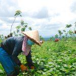 Lợi ích kép từ trồng xen khoai lang