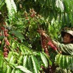 Nan giải tìm lao động thu hoạch cà phê