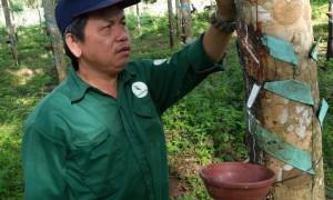 Anh Lê Văn Lịch - đội phó Đội III, kiêm chủ tịch công đoàn Bộ phận đang sửa lại đường mủ chảy bị lệch miệng cạo cho ngay ngắn vào chén hứng mủ cho công nhân