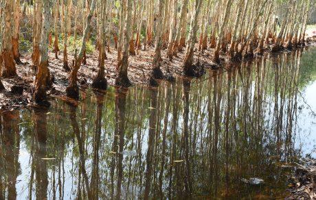 Cây Tràm Úc phát triển rất tốt trên đất phèn mặn góp phần cải tạo nguồn nước và là nơi để các sinh vật về cư trú