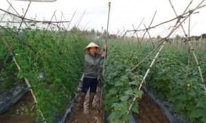 Trông rau ở TP.Kon Tum