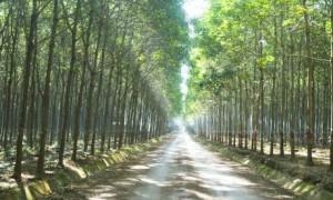 Vườn cây Cao su Việt - Lào. Ảnh: Vũ Phong