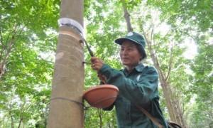 Công ty áp dụng chế độ cạo D4, mủ để đông tại vườn, sau 4 ngày mới thu về lán.