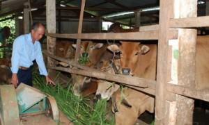 Mô hình chăn nuôi bò của anh Trần Trung Kiến – NT Thống Nhất.