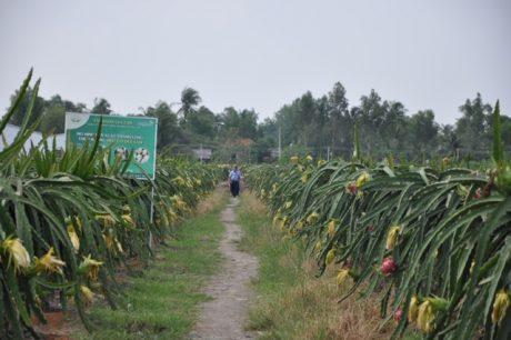 Mô hình trồng thanh long tại hộ ông Nguyễn Ngọc Tài, Châu Thành, Long An.