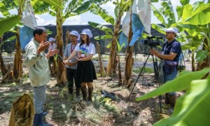 Phóng viên Quỳnh Mai (người cầm micro) tác nghiệp tại dự án trồng chuối của Công ty Cao su Dầu Tiếng. Ảnh: Sinh Thành