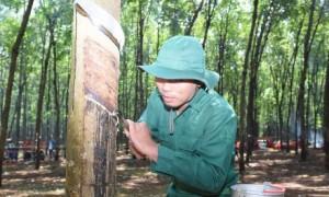 Công nhân trên vườn cây Công ty TNHH Cao su Việt - Lào