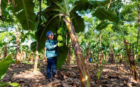 Chăm sóc chuối trồng xen trên vườn cây kiến thiết cơ bản