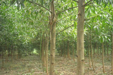Trồng keo lai lấy gỗ đem lại giá trị kinh tế cao
