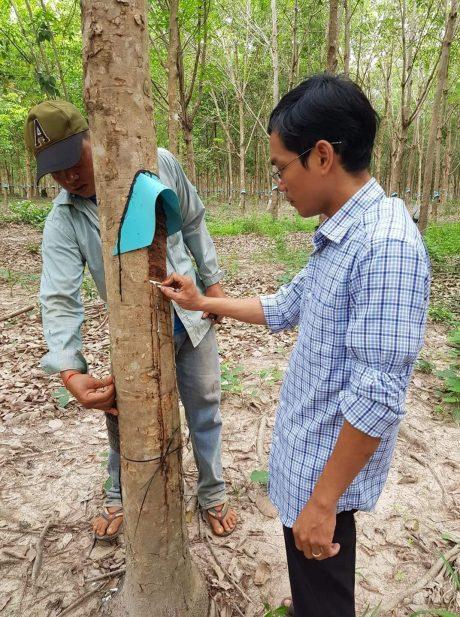Phùng Thế Phương - Bí thư ĐTN, Phó GĐ NT Ou Thom, Cao su Bà Rịa Kampong Thom kiểm tra kỹ thuật khai thác của công nhân.