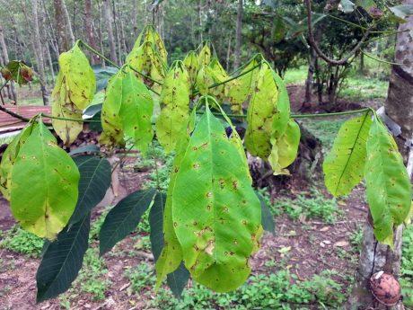 Lá cao su bị nhiễm bệnh Corynespora.