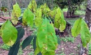 Lá bị nhiễm bệnh Corynespora