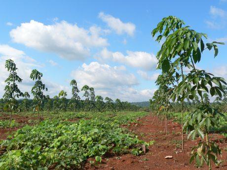 Vườn cây trồng tái canh tại công ty.