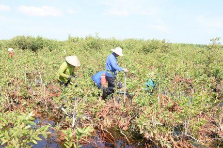 Trồng dặm cây tràm Úc sau khi khai thác tại rừng Hòn Đất
